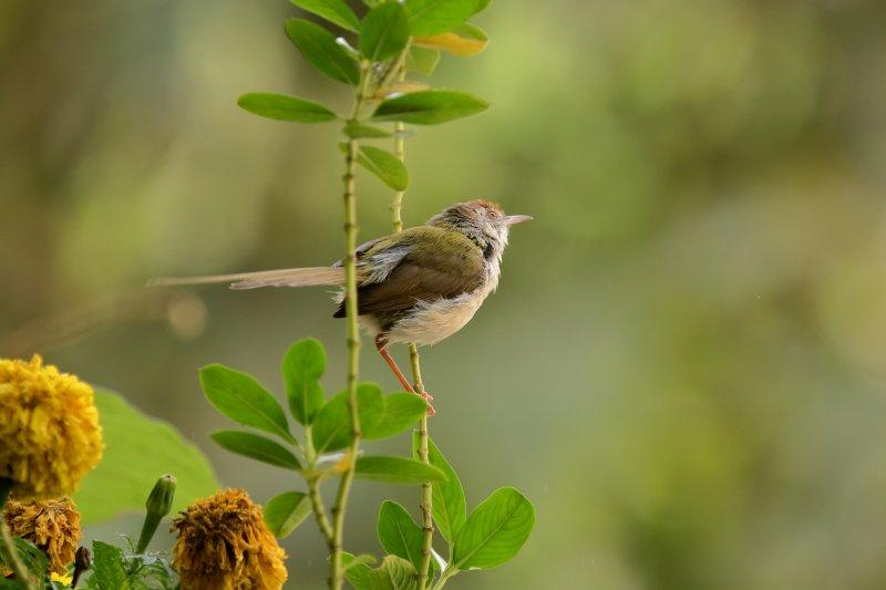 The common tailor bird