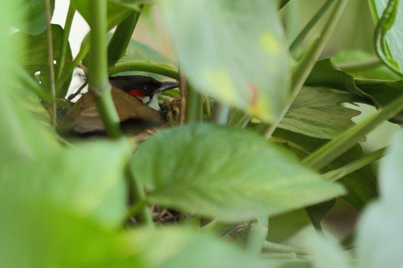 bulbul-in-the-nest